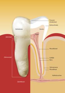 Um diese täglichen Höchstleistungen zu leisten, ist der Zahn sehr leistungsfähig aufgebaut und besteht aus mehreren Schichten. Die erste Schicht besteht aus einem sehr harten Material, dem Schmelz. Die zweite Schicht ist das gelbliche Zahnbein, das die Pulpa mit dem Nerven umgibt. Die Zahnwurzel wird schließlich von Zement umgeben, welches den Zahn im Knochen verankert. . .Der Zahnschmelz ist die härteste Substanz im menschlichen Körper und besteht zum größten Teil aus Kalziumphosphat, Fluor, Proteinen und Wasser. Er bedeckt die Zahnkrone als äußerste Schicht und dient dem Schutz des Zahnorgans gegen äußere schädigende Einflüsse, beispielsweise Bakterien, Säuren oder auch die Kaukräfte im allgemeinen. Der Kalziumgehalt des Zahnes steht nach dem Zahndurchbruch fest und kann durch die tägliche Zahnpflege nicht erhöht werden.    Deshalb ist es wichtig, dem Körper im Kindesalter ausreichend Kalzium zur Verfügung zu stellen. Die Farbe der Zähne und deren Glanz erinnern an polierten Marmor. . .Der größte Anteil des Zahnes besteht aus Zahnbein, auch Dentin genannt. Trotz seines - im Vergleich zum Schmelz - geringeren Mineralgehaltes, ist Dentin härter als Knochengewebe, aber sehr viel anfälliger gegen Säuren und Bakterien. Dentin umschließt nicht nur den Kronenbereich, sondern auch den Wurzelbereich beziehungsweise die Pulpa und kann lebenslang - in begrenztem Maß - nachgebildet werden.  In einem Hohlraum, der von allen Seiten von Dentin umschlossen ist, befindet sich die Pulpa. Sie besteht aus Blutgefäßen, Lymphgefäßen, Nervenbahnen, Bindegewebe und Zellen zur Dentinbildung (sog. Odontoblasten). Im jugendlichen Alter ist diese Pulpahöhle noch sehr groß, wird aber mit zunehmendem Alter immer enger, da weiter Dentin produziert wird. . .Der Zahnzement bedeckt die Zahnwurzel vom unteren Schmelzrand bis zur Wurzelspitze. Er besitzt weder Nerven noch Gefäße und gehört anatomisch nicht zum Zahn selbst, sondern zum Zahnhalteapparat (=Parodont).